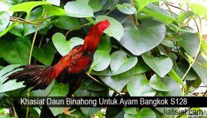 Khasiat Daun Binahong Untuk Ayam Bangkok S128